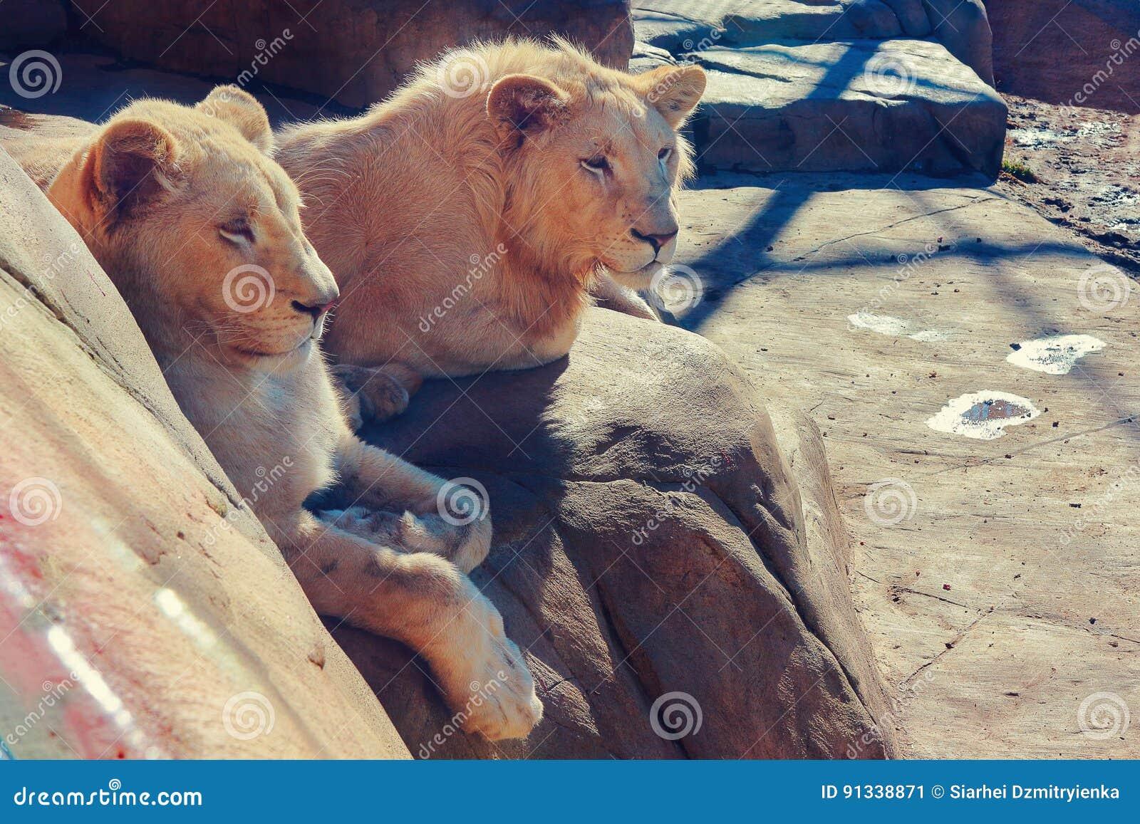 Lion masculin et femelle se reposant sur une roche