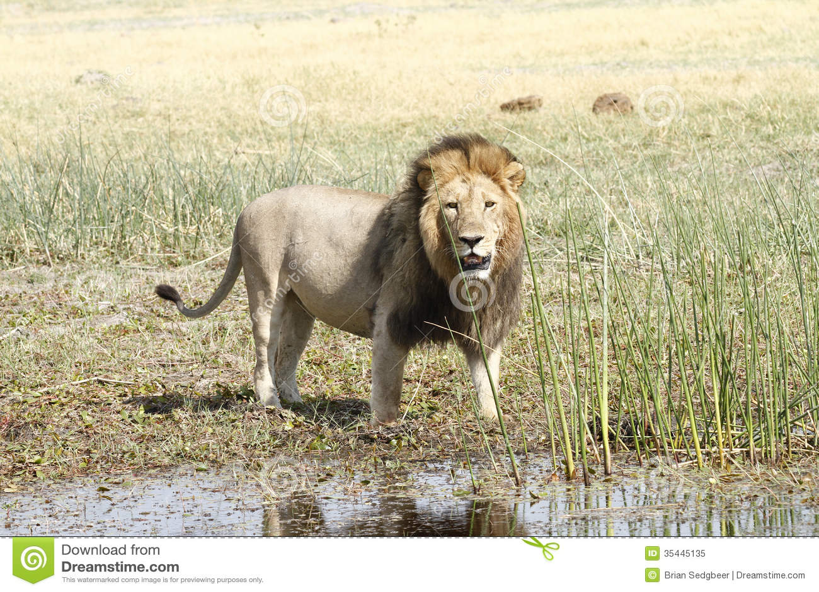 Lion masculin mûr