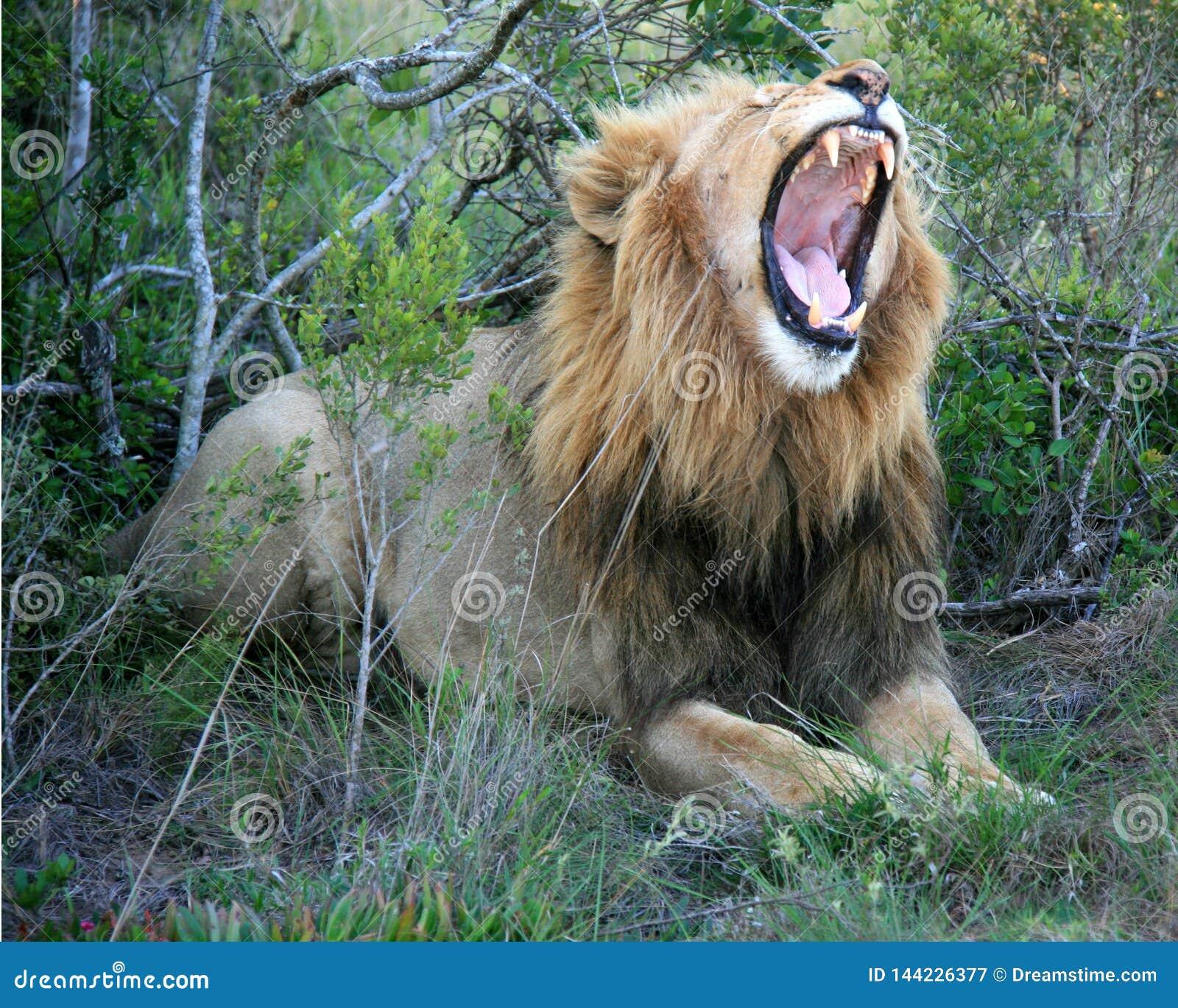 Lion masculin se trouvant sur l herbe avec les dents de bouche et la bouche de représentation ouvertes
