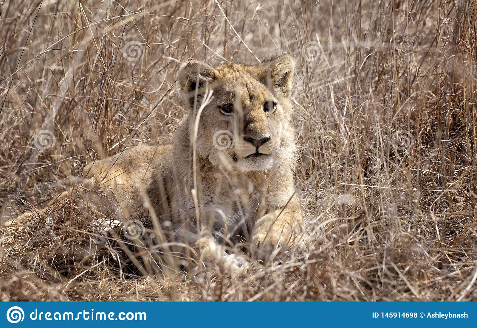 Lion mignon d animal