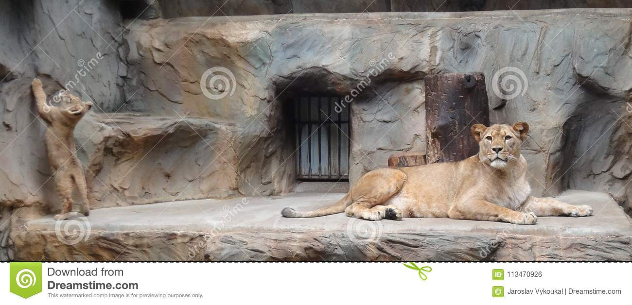 Lion mother with small lion baby in zoo