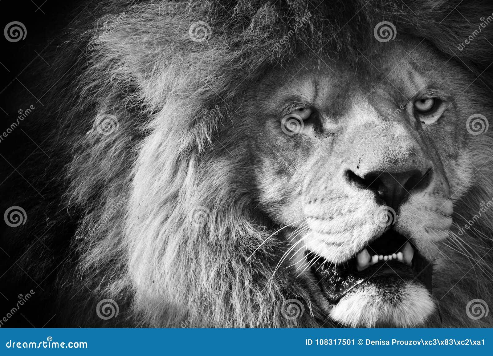 lion noir et blanc photo ditorial image du lions. Black Bedroom Furniture Sets. Home Design Ideas