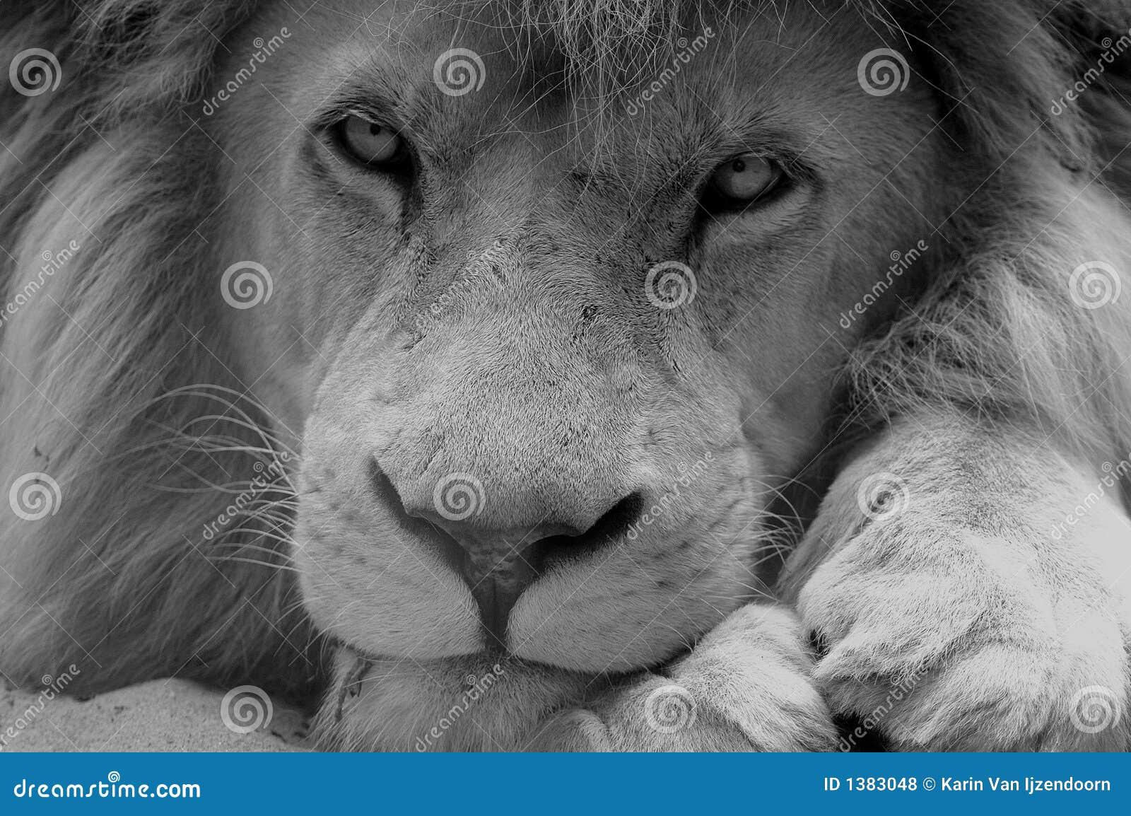 lion noir et blanc photos libres de droits image 1383048. Black Bedroom Furniture Sets. Home Design Ideas