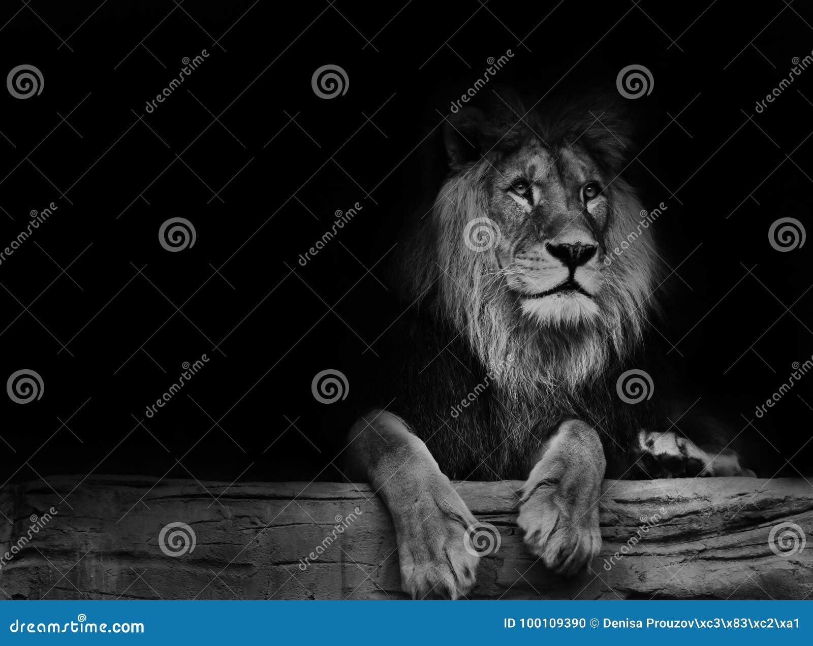 Lion noir et blanc d affiche