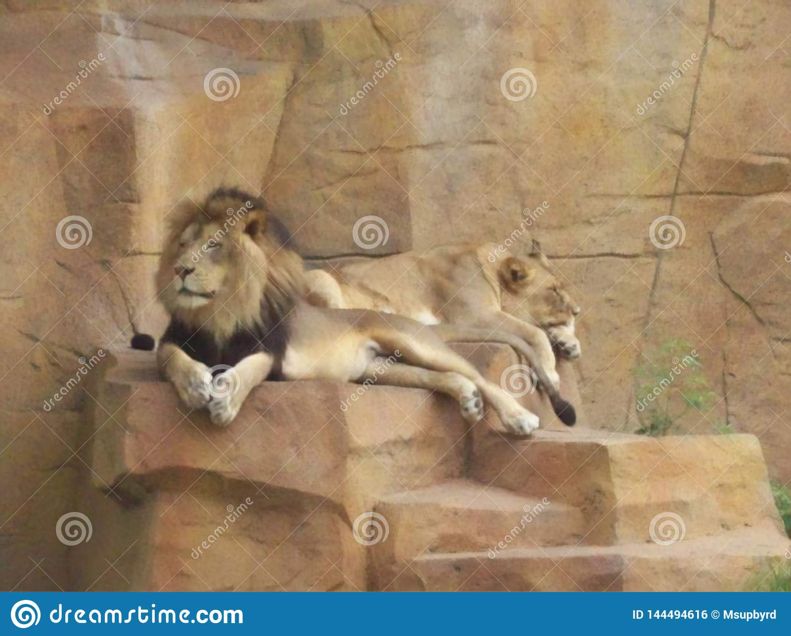 Lion Pair Relaxing on a Gorgeous Summer Day