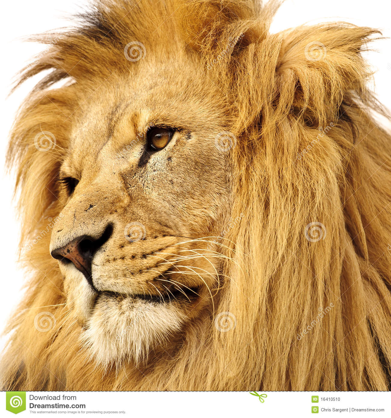 Portrait of lion isolated on white background.