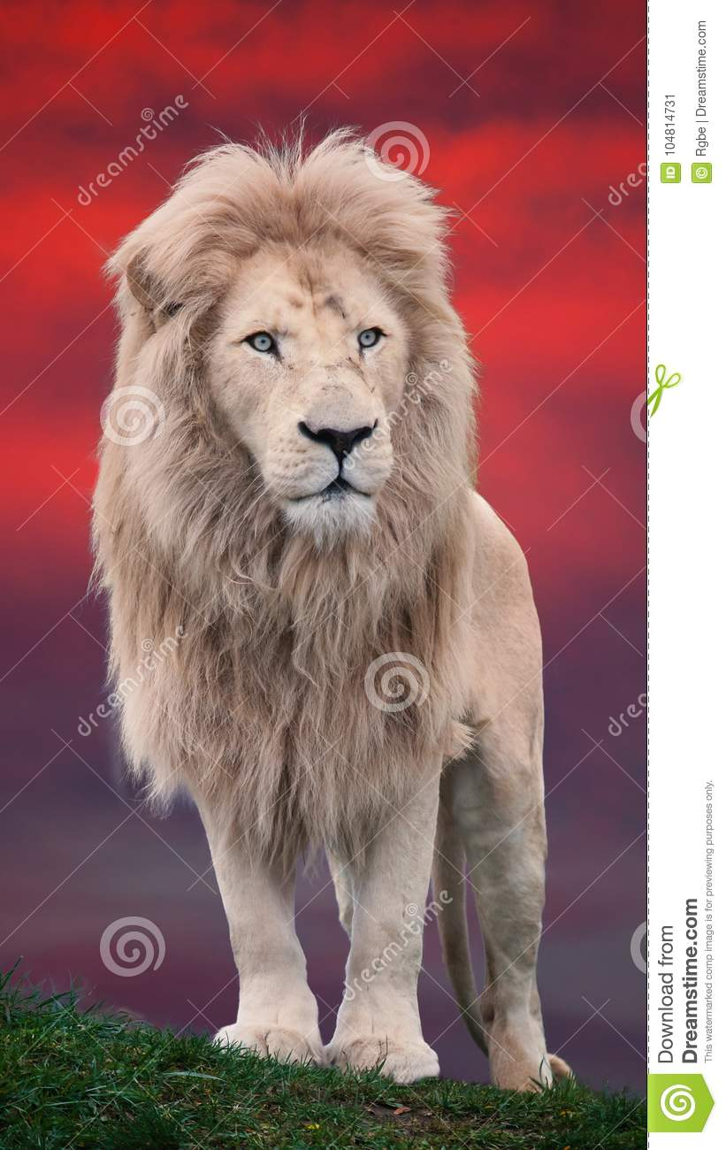 Lion portrait with a red background