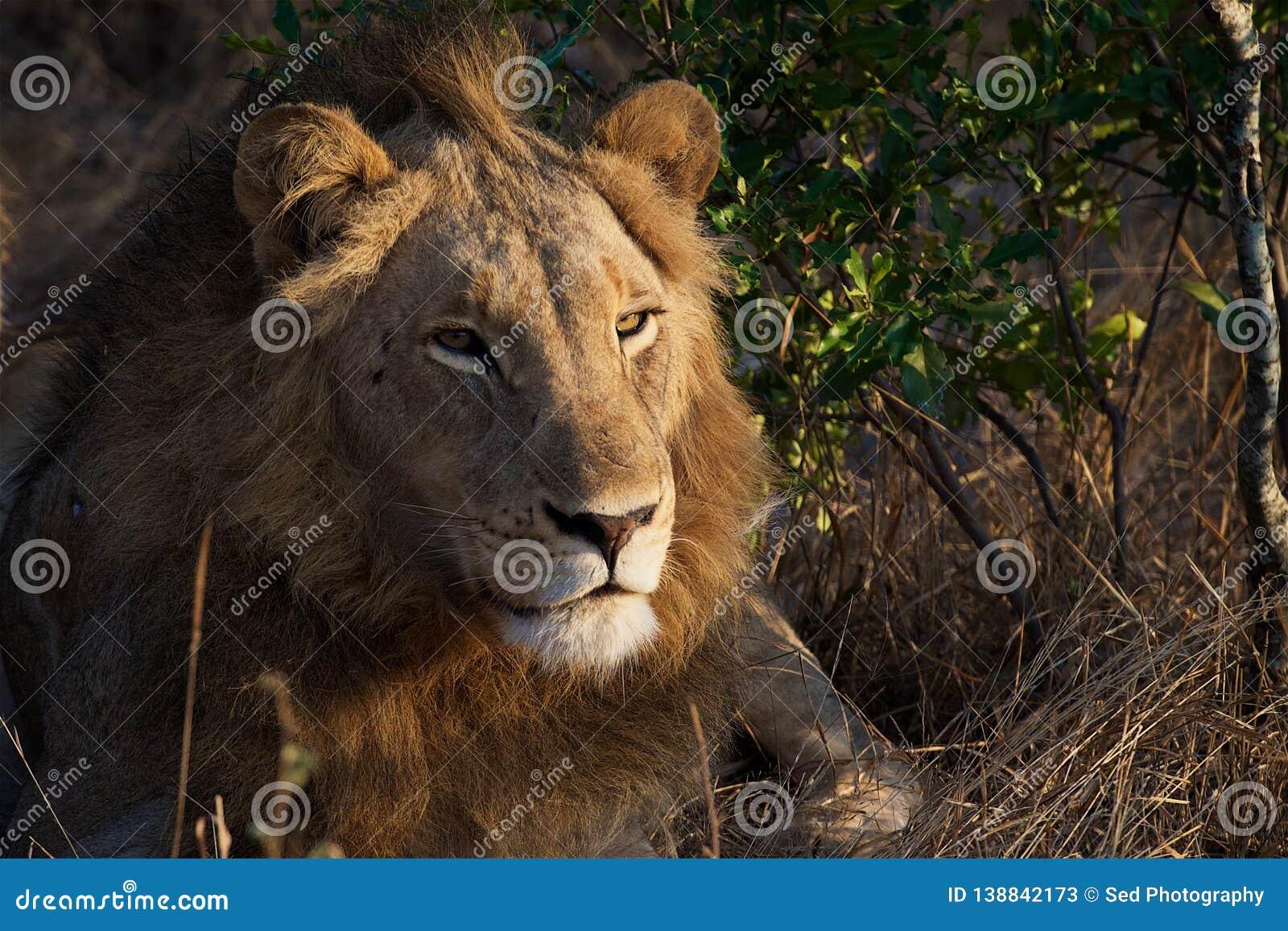 Lion Pose in Kruger National Park
