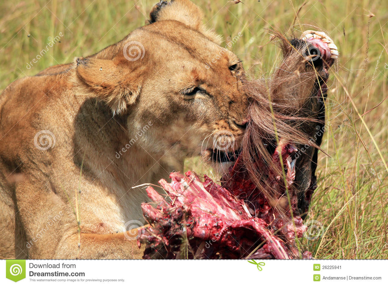 Lion With Prey stock image. Image of king, five, masai ...