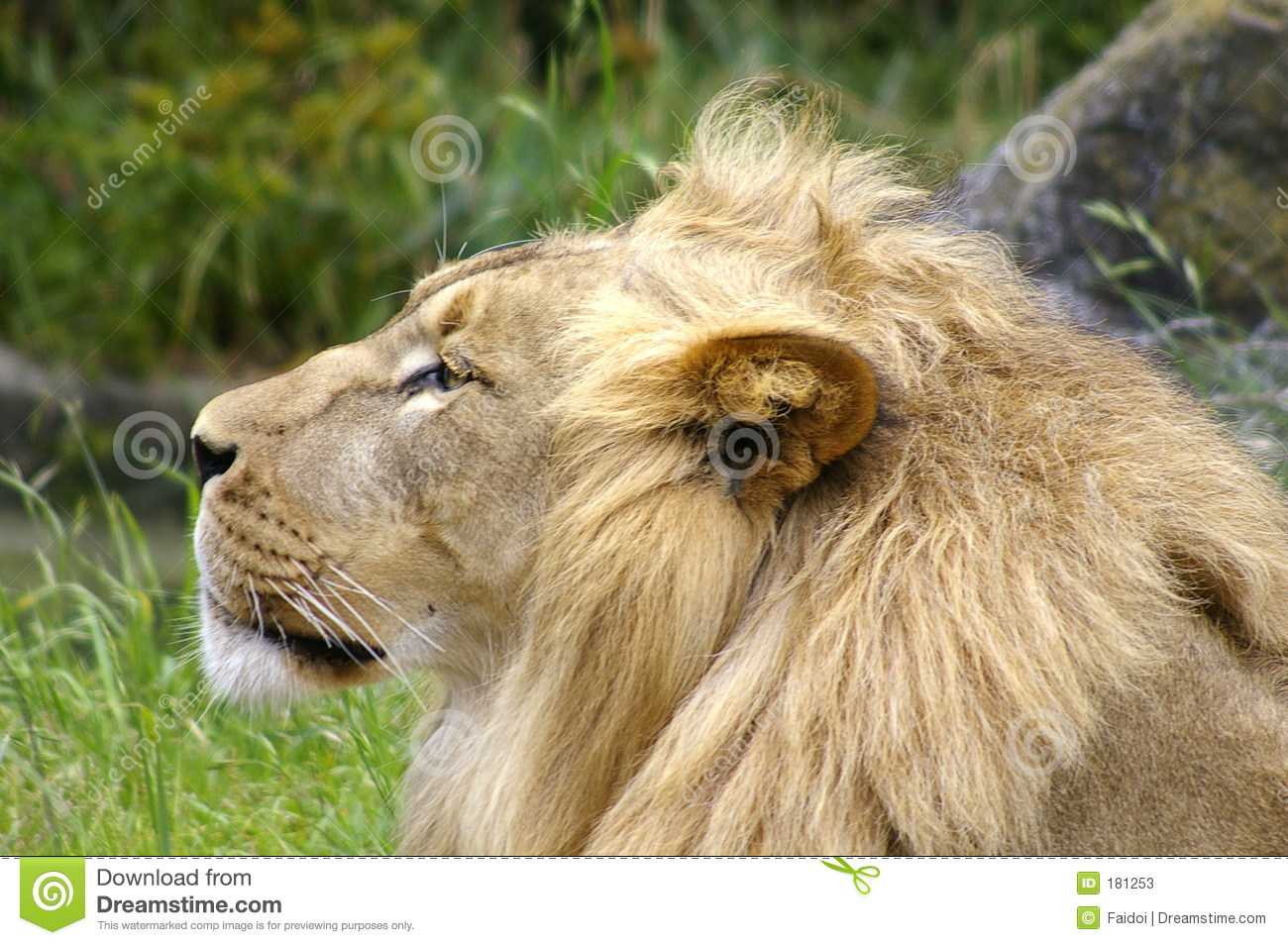 Lion Side View Face