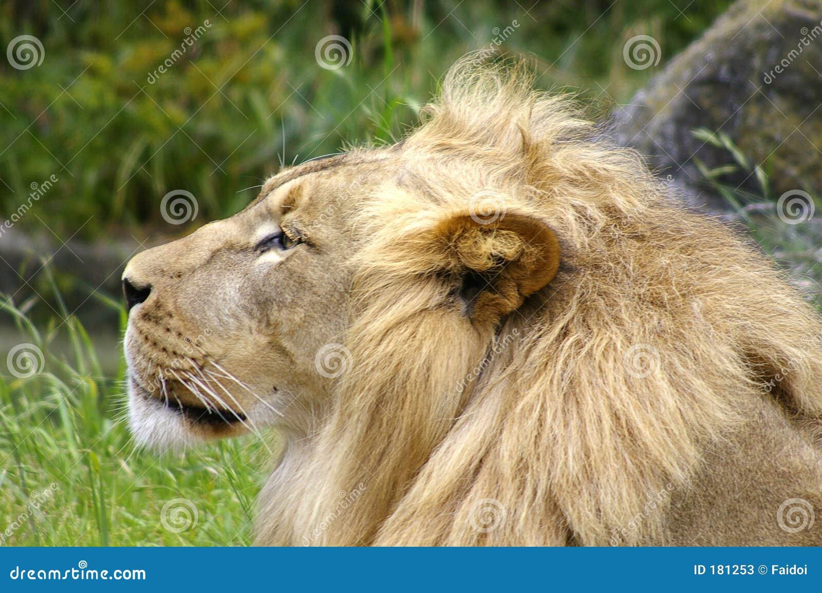 Lion Side View Face