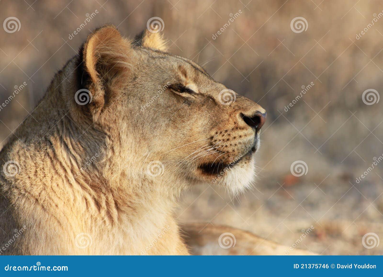 Lion Side Profile Lion-profile-21375746.jpg