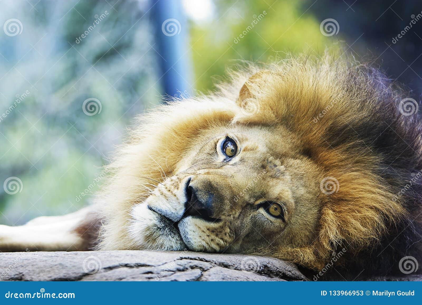 Lion Resting Head on Rock