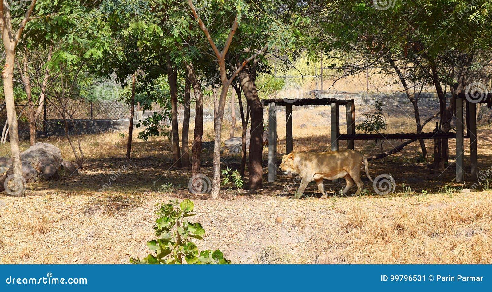Lion Roaming asiático en parque zoológico con alrededores naturales debajo de árboles