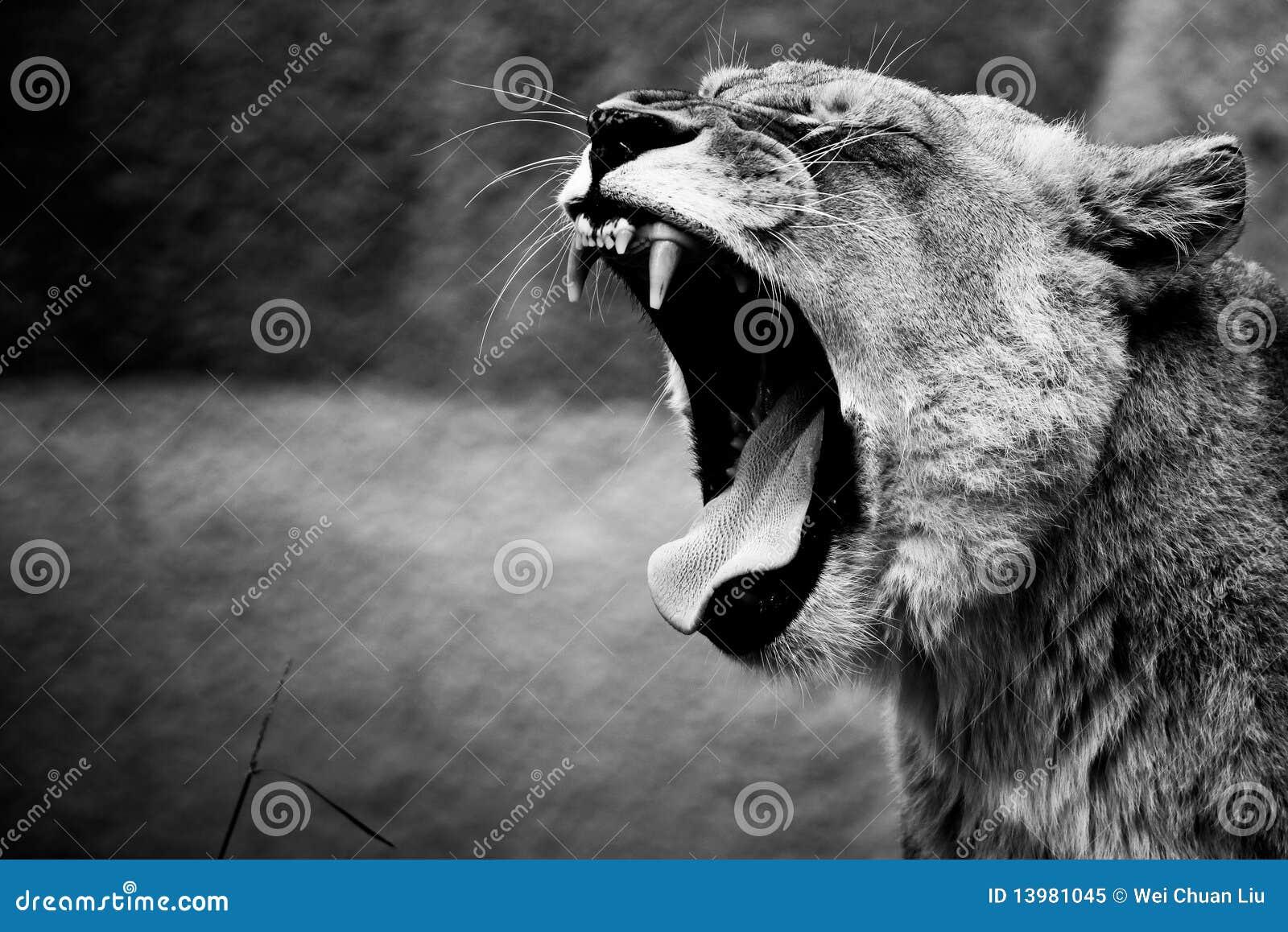 Lion roar stock image  Image of eyes, african, leader - 13981045