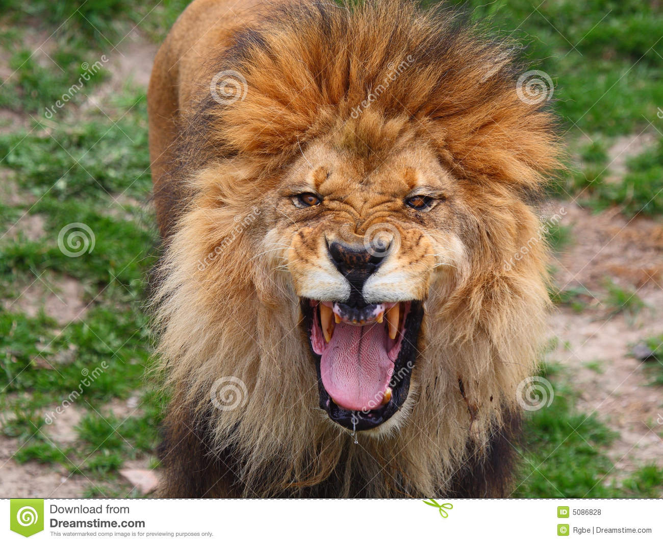Lion Roar Royalty Free Stock Photos - Image: 5086828 - photo#28