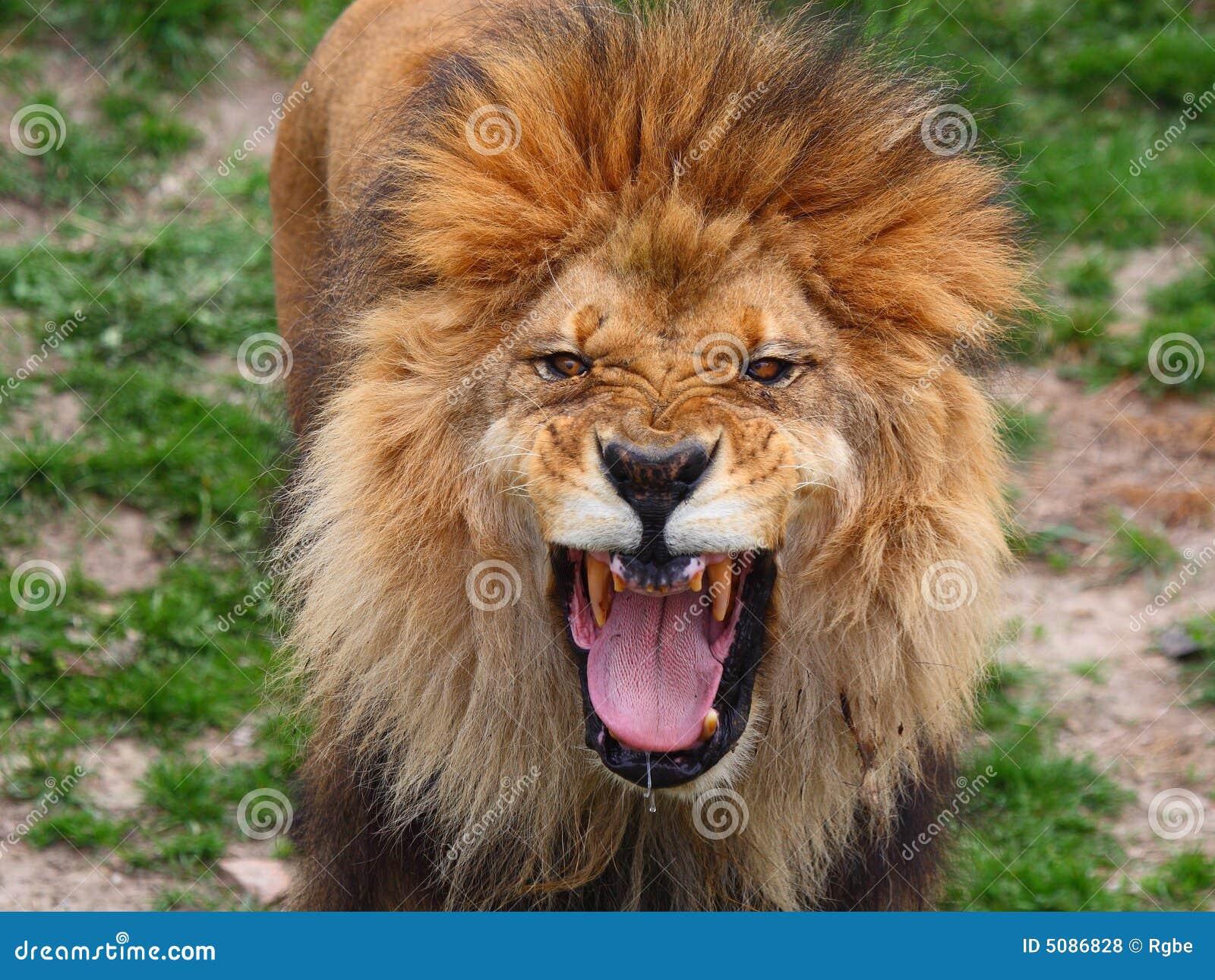 Lion roar face