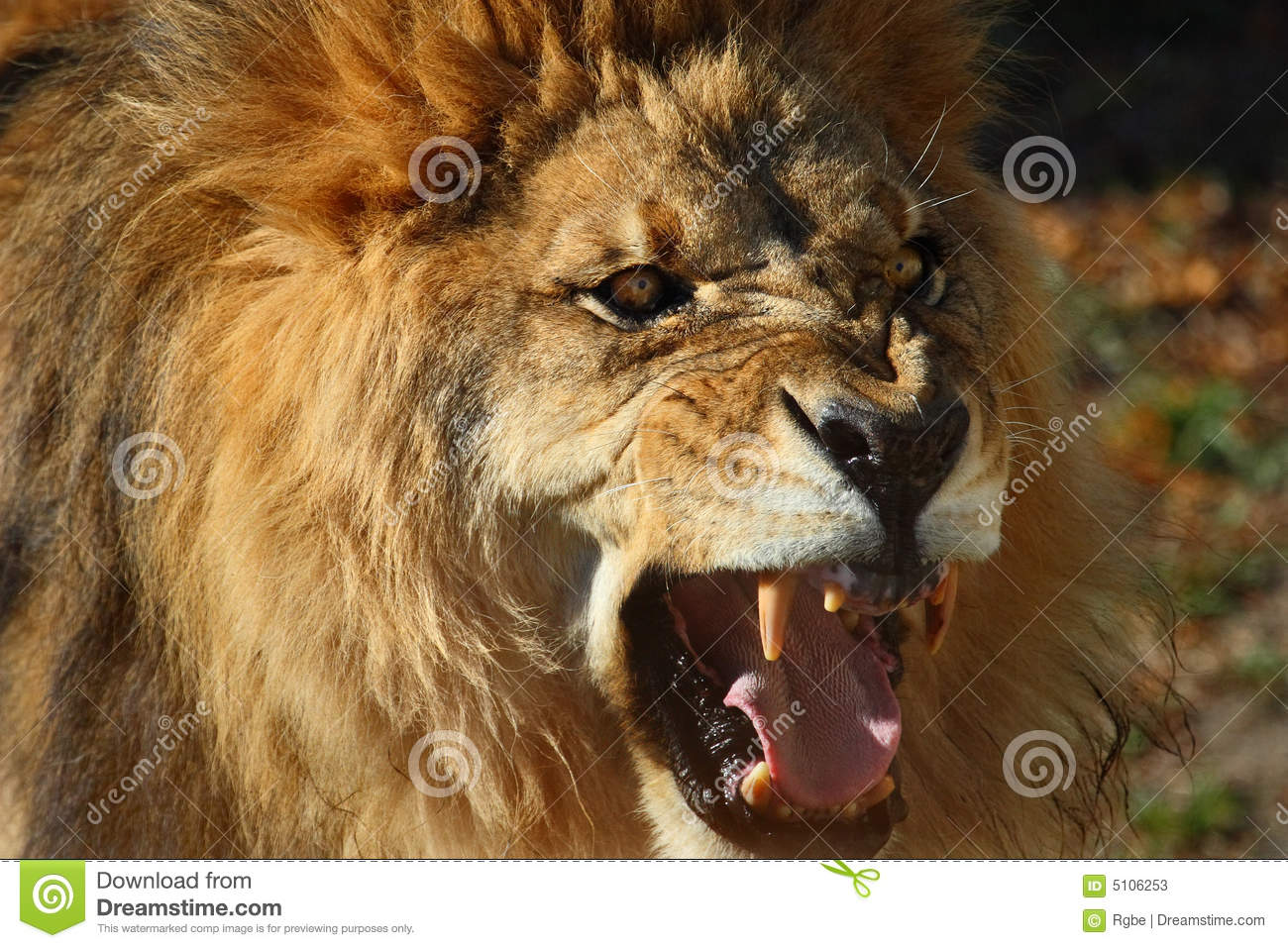 Lion roar stock image. Image of africa, angry, wild, lion ... - photo#44