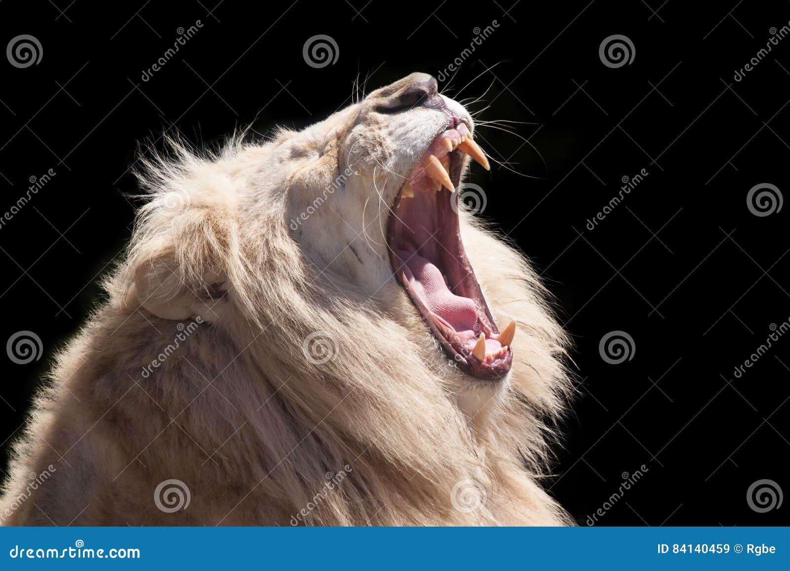 Lion Roar image stock. Image du hurlement, isolement ... - photo#41