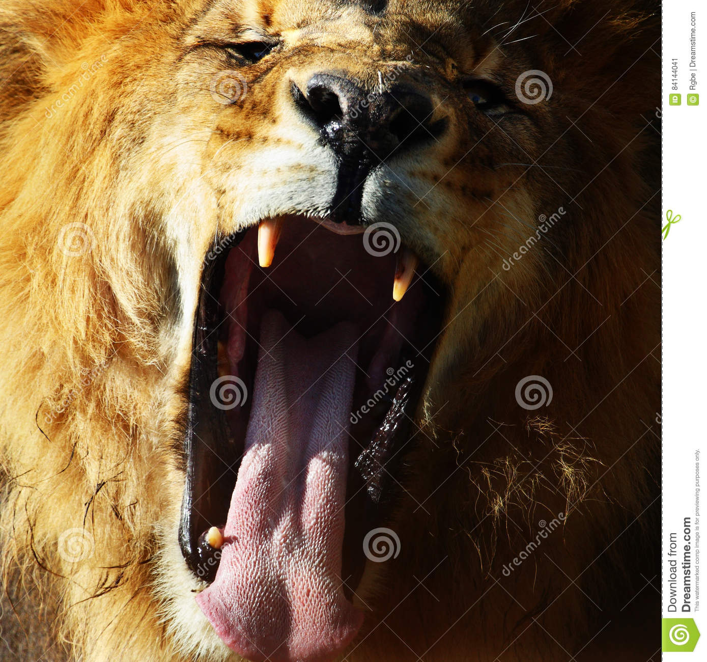 Lion roar stock image Image of portrait hunting roaring 84144041