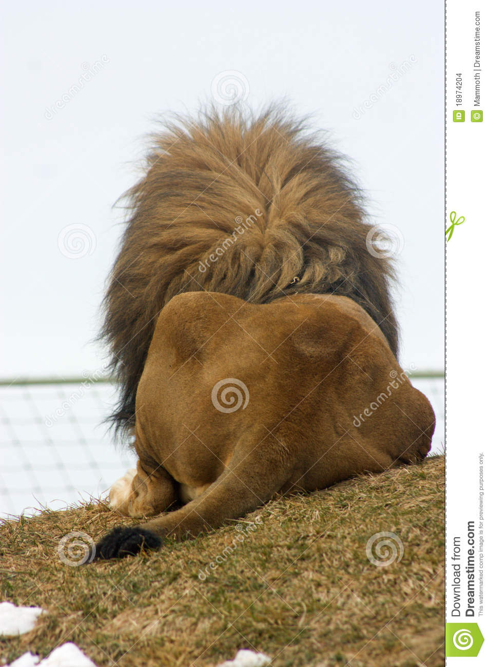 Lion S Back Stock Photo Image Of Relaxing Lion