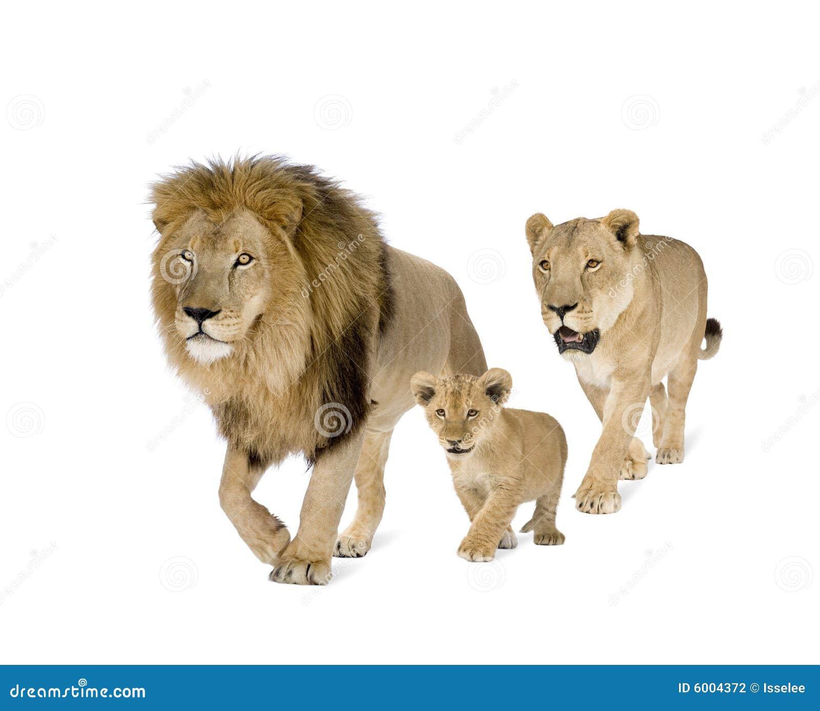 Lion s family