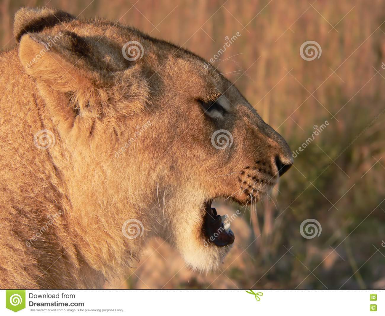 Lion's Head Side Profile Stock Photography - Image: 302352