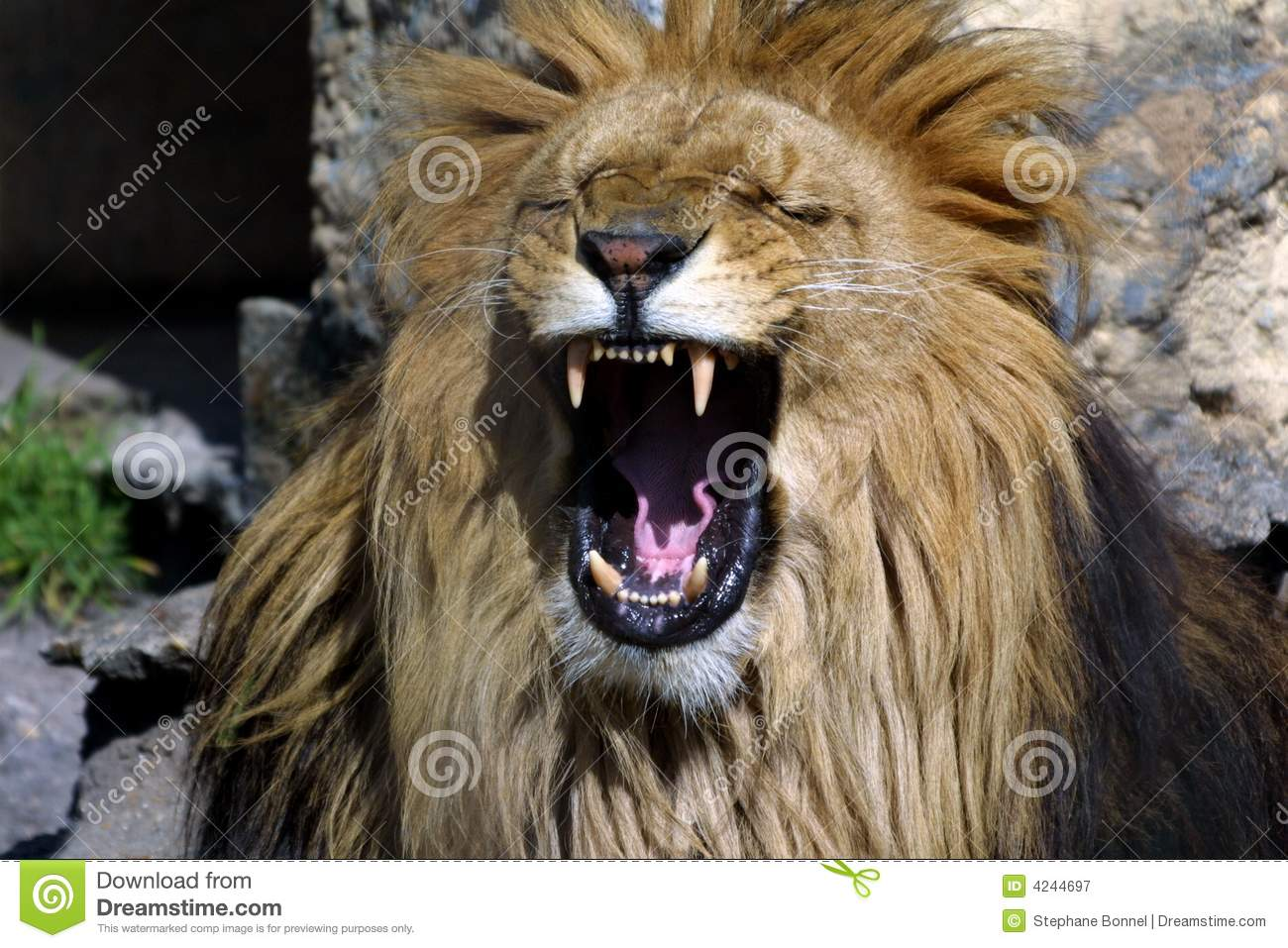 Lion's roar stock image. Image of lion, africa, animal ... - photo#32
