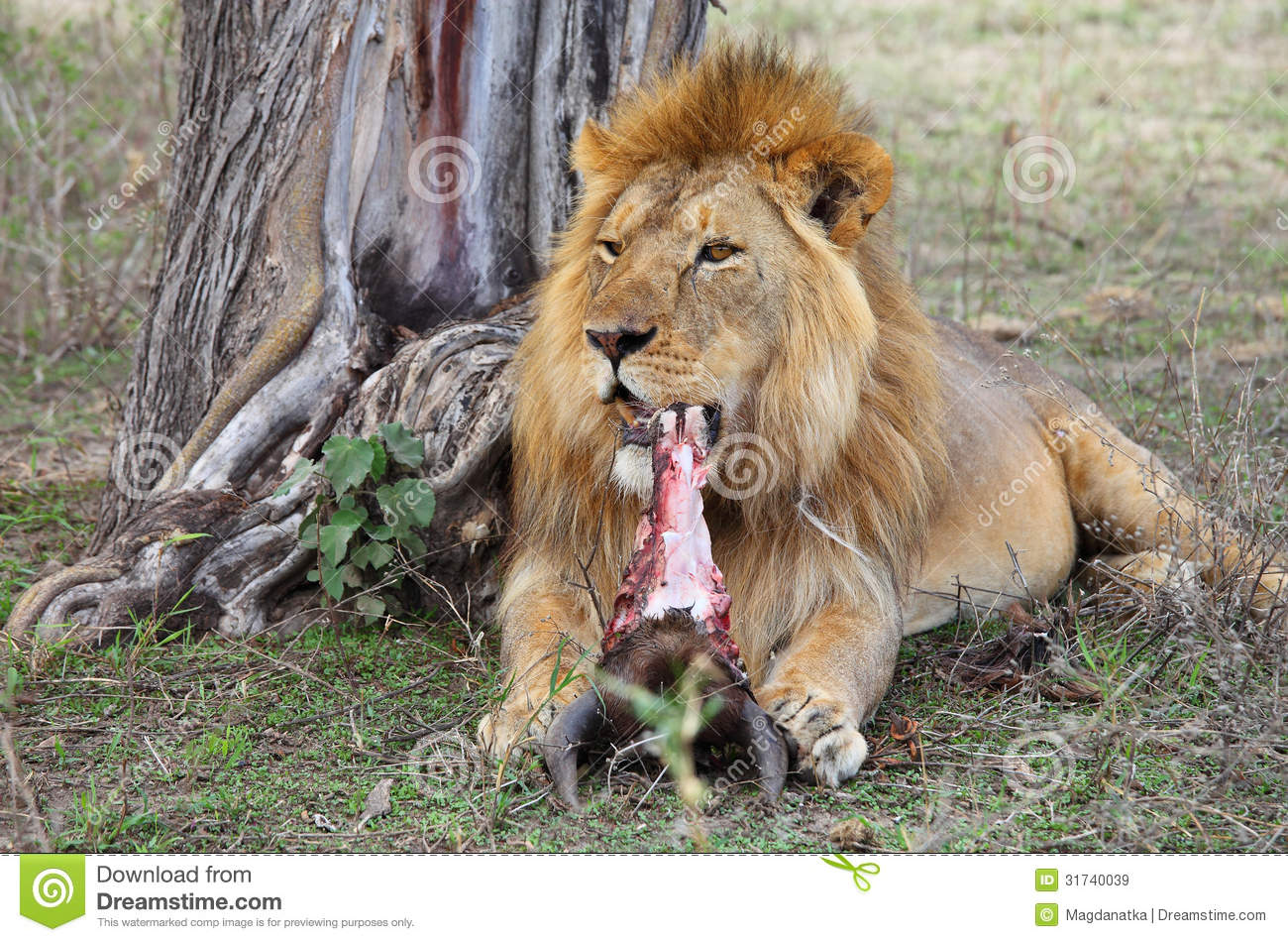 Lion In Serengeti Royalty Free Stock Images Image 31740039