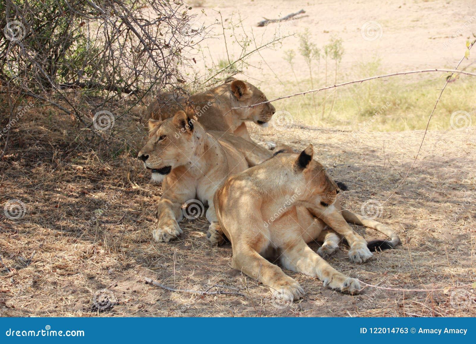 Lion under the tree at ruaha national park