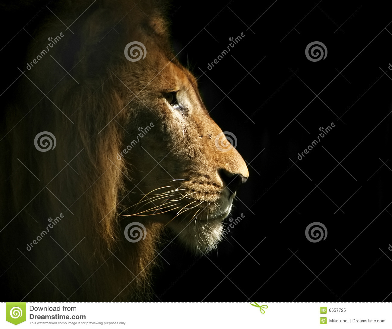 Lion Side Portrait Royalty Free Stock Photo - Image: 6657725