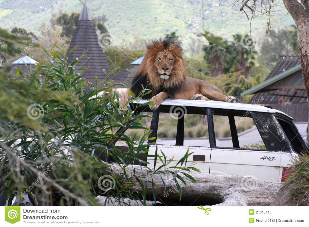 Lion Sitting On A Car Stock Photo Image Of White Diego