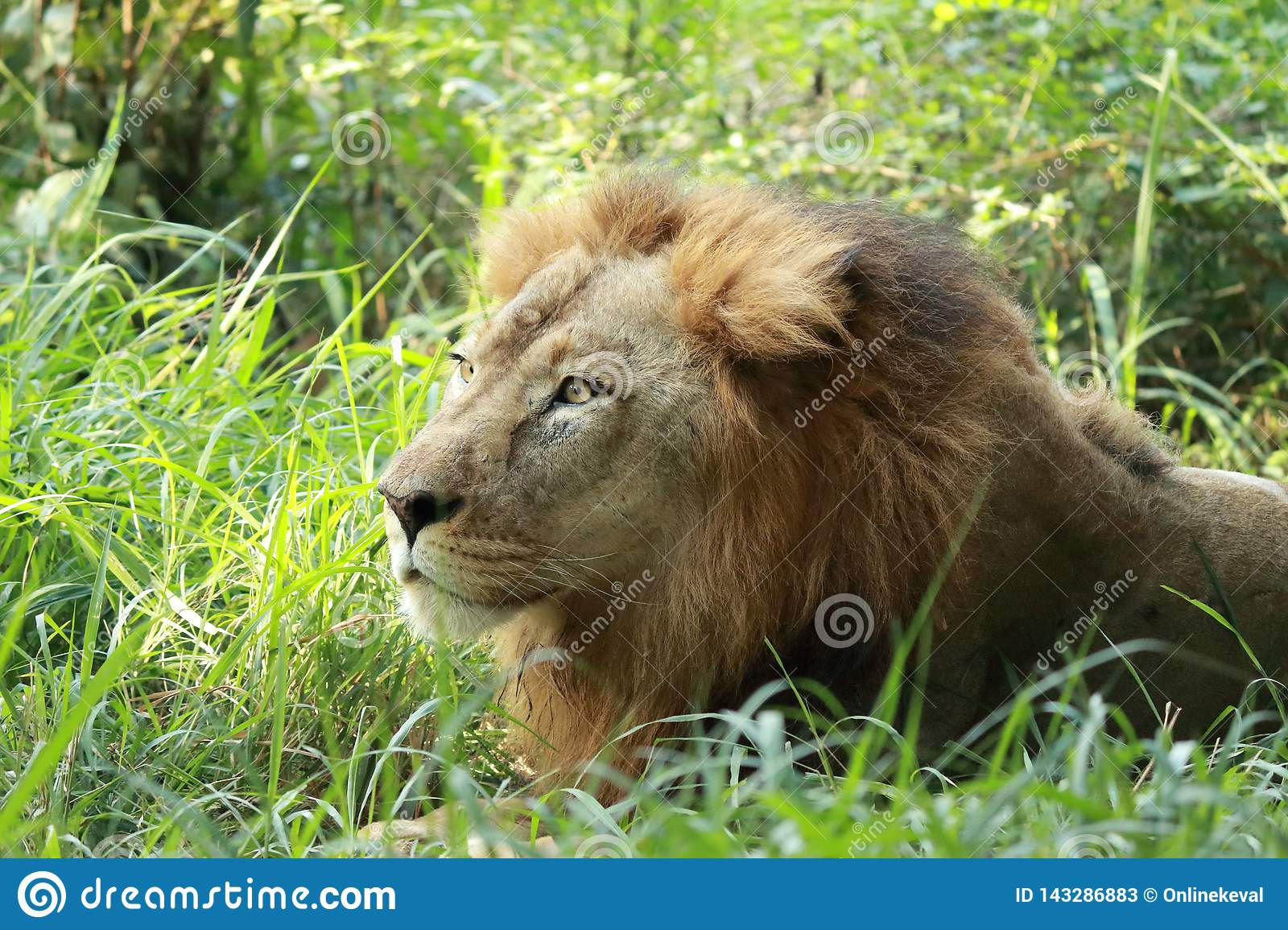 Lion sitting in the shrubs