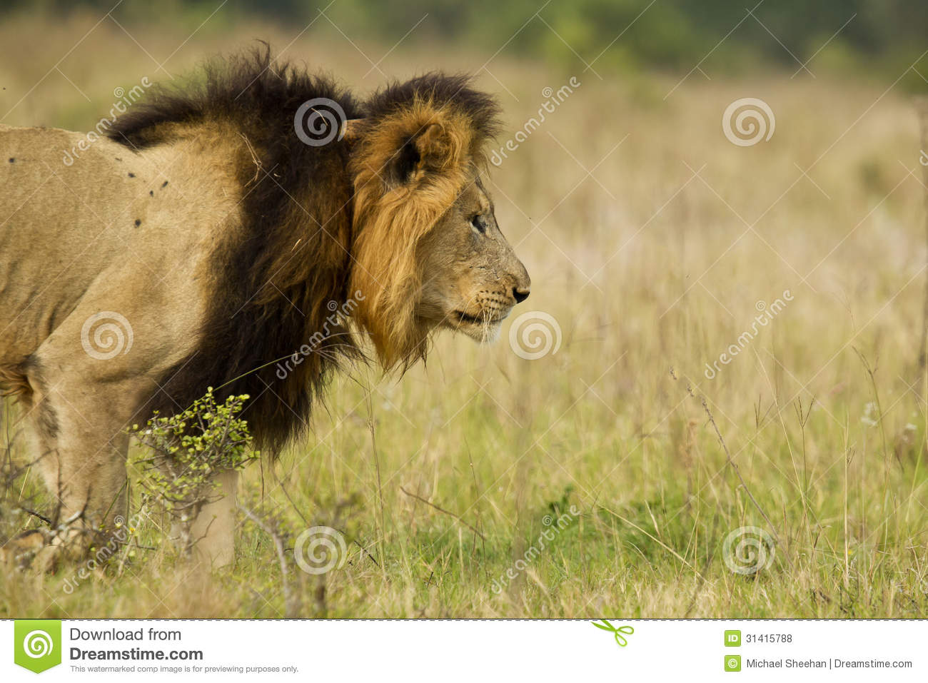 Male lion stalking prey - photo#9