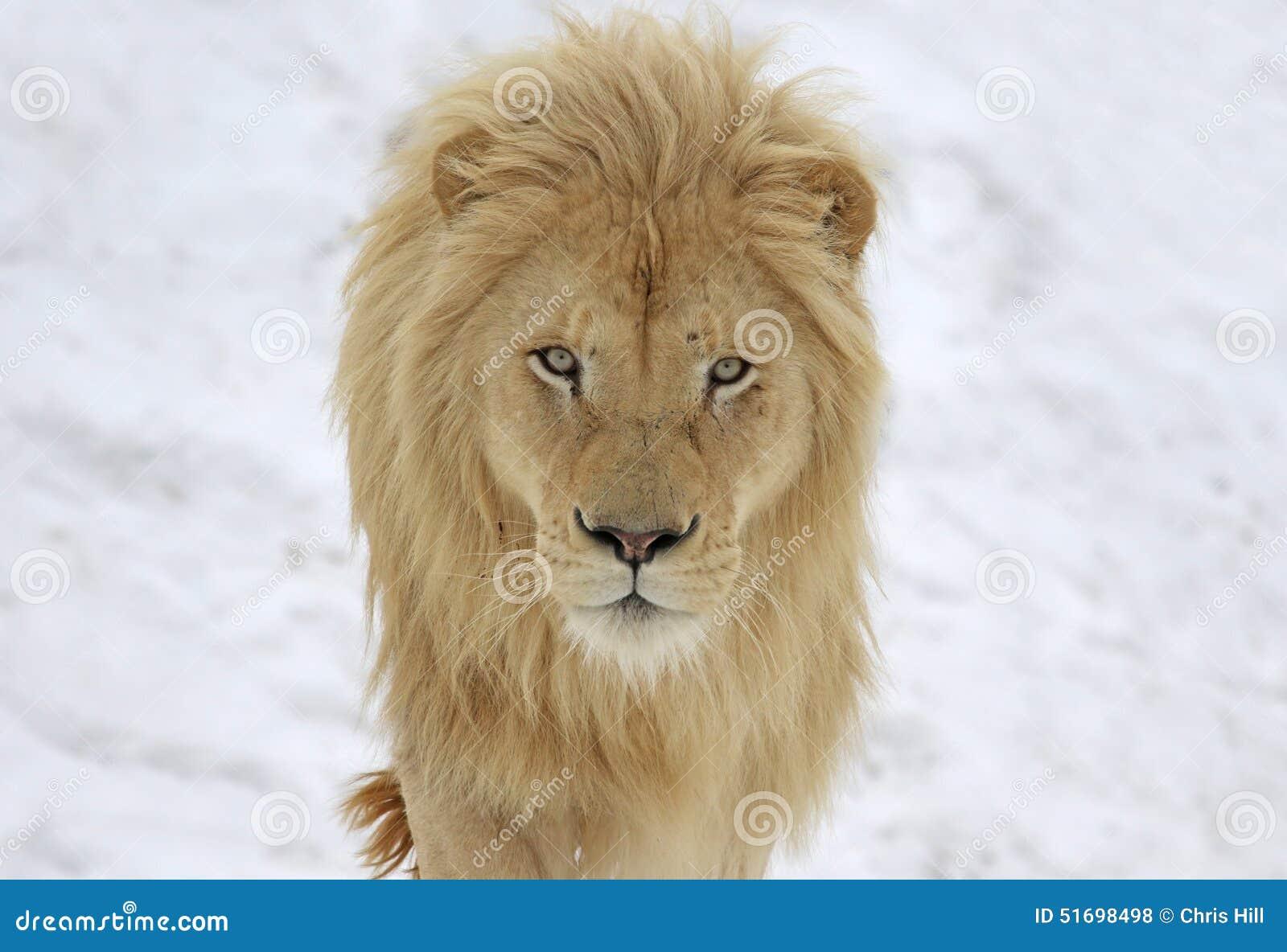 Lion Stare blanc