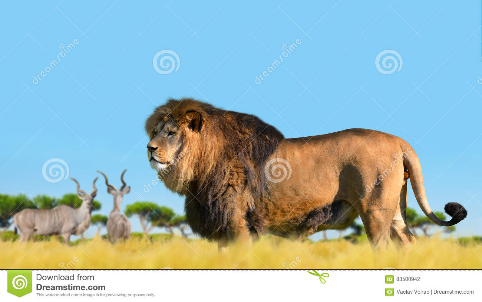 Lion sur la savane photo stock image du afrique f lin 83500942 - Felin de la savane ...
