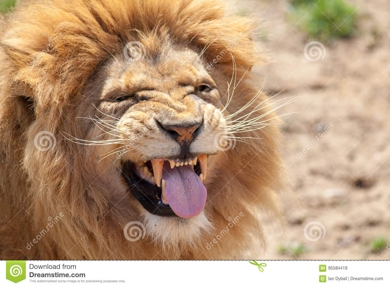 Lion tirant un visage funnny Langue animale et dents canines
