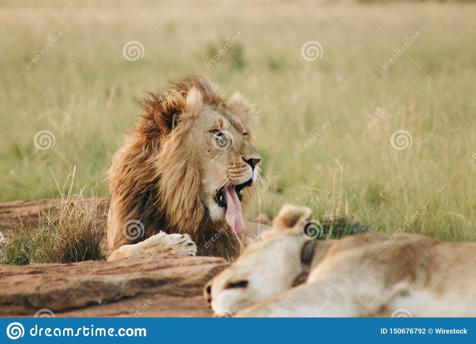 Lion tirant une langue s étendant au sol dans un domaine