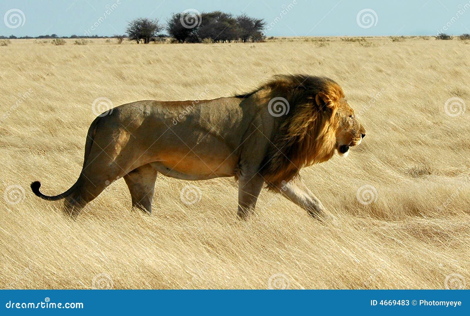 lion walking stock image image of grace outdoor graceful 4669483