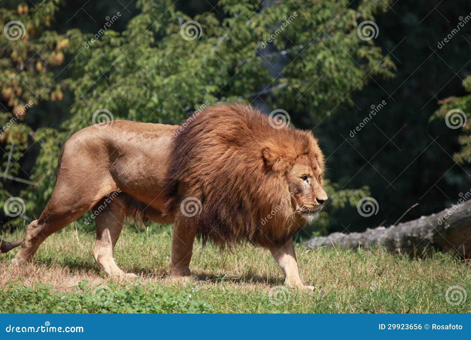 lion walking in zoo enclosure royalty free stock image