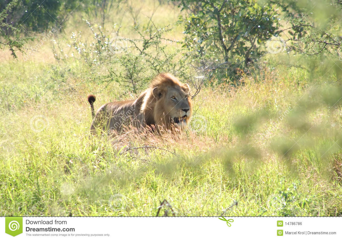 Lion In The Wild Royalty Free Stock Image - Image: 14786786