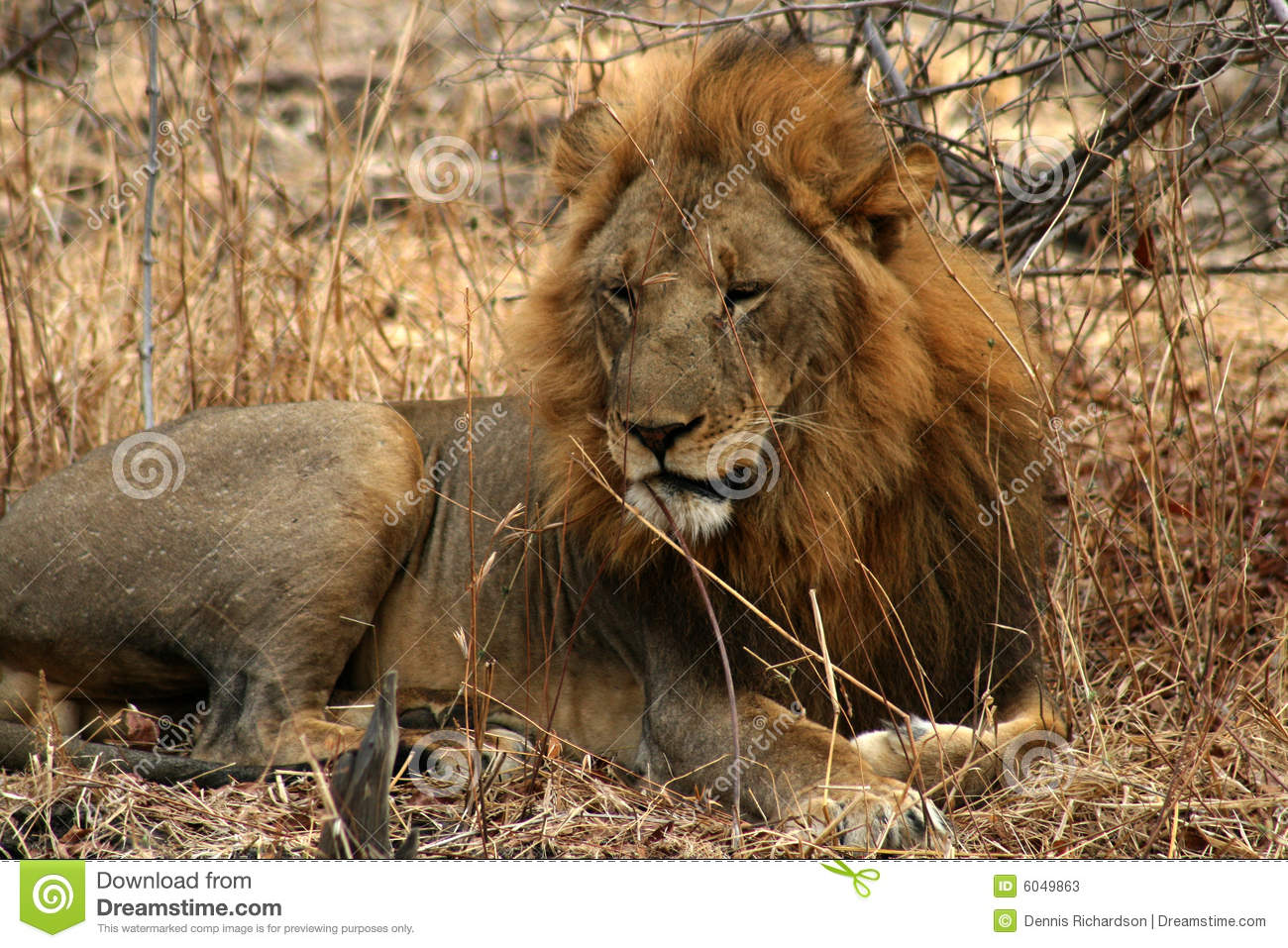 Lion In The Wild Stock Photos - Image: 6049863