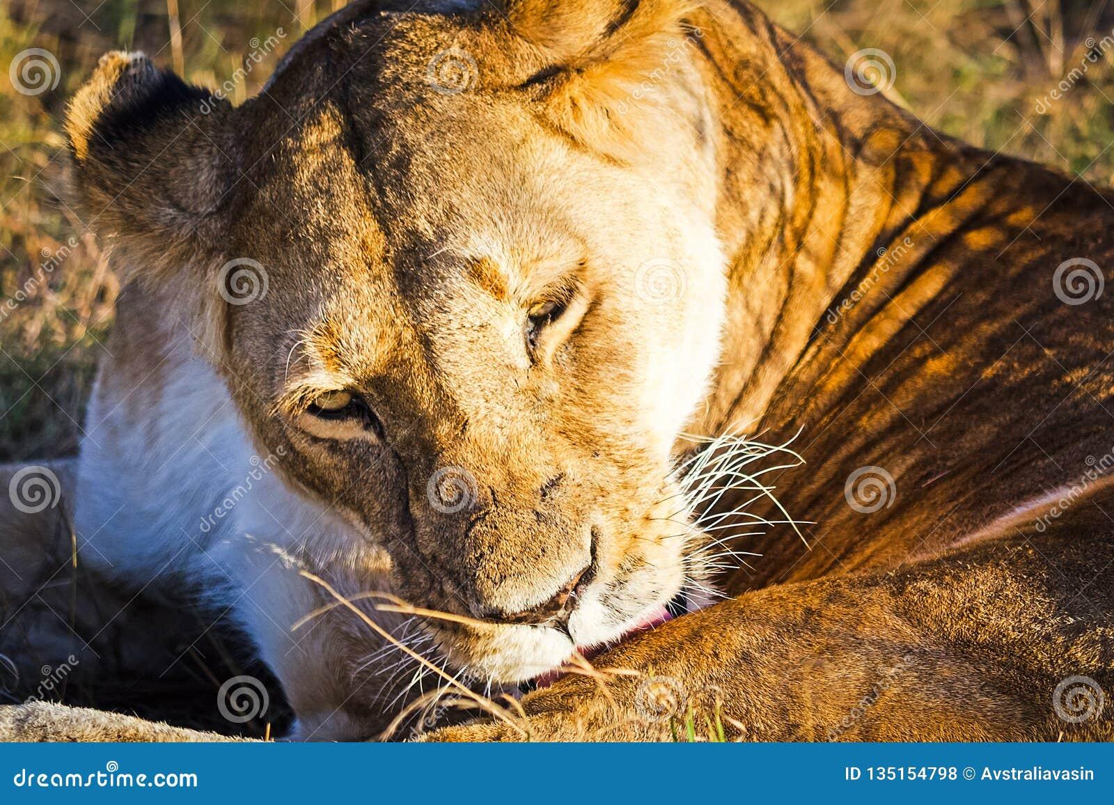 Lion in the wild in the African . Lion - predator felines