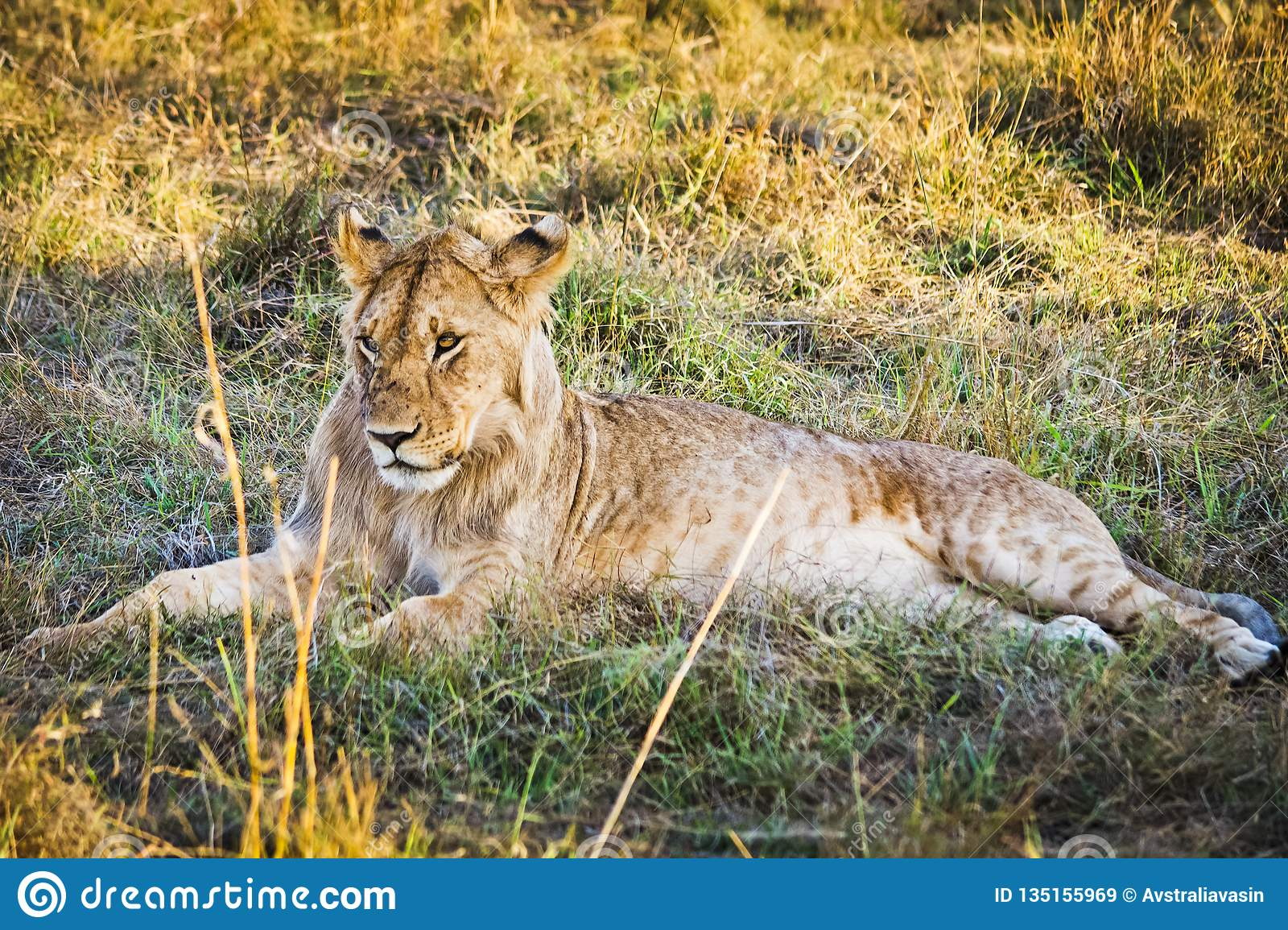 Lion in the wild in the African . Lion - predator felines