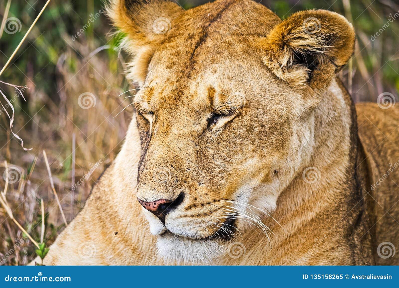 Lion in the wild in the African. Lion - predator felines