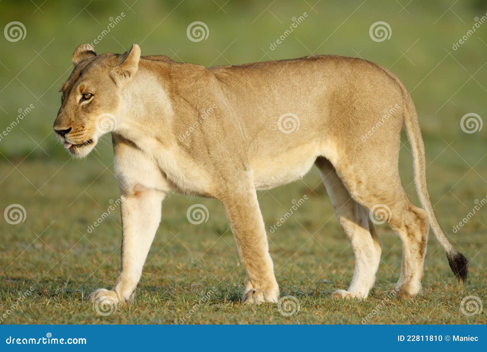 lioness strolling on Nxai Pan, Botswana.