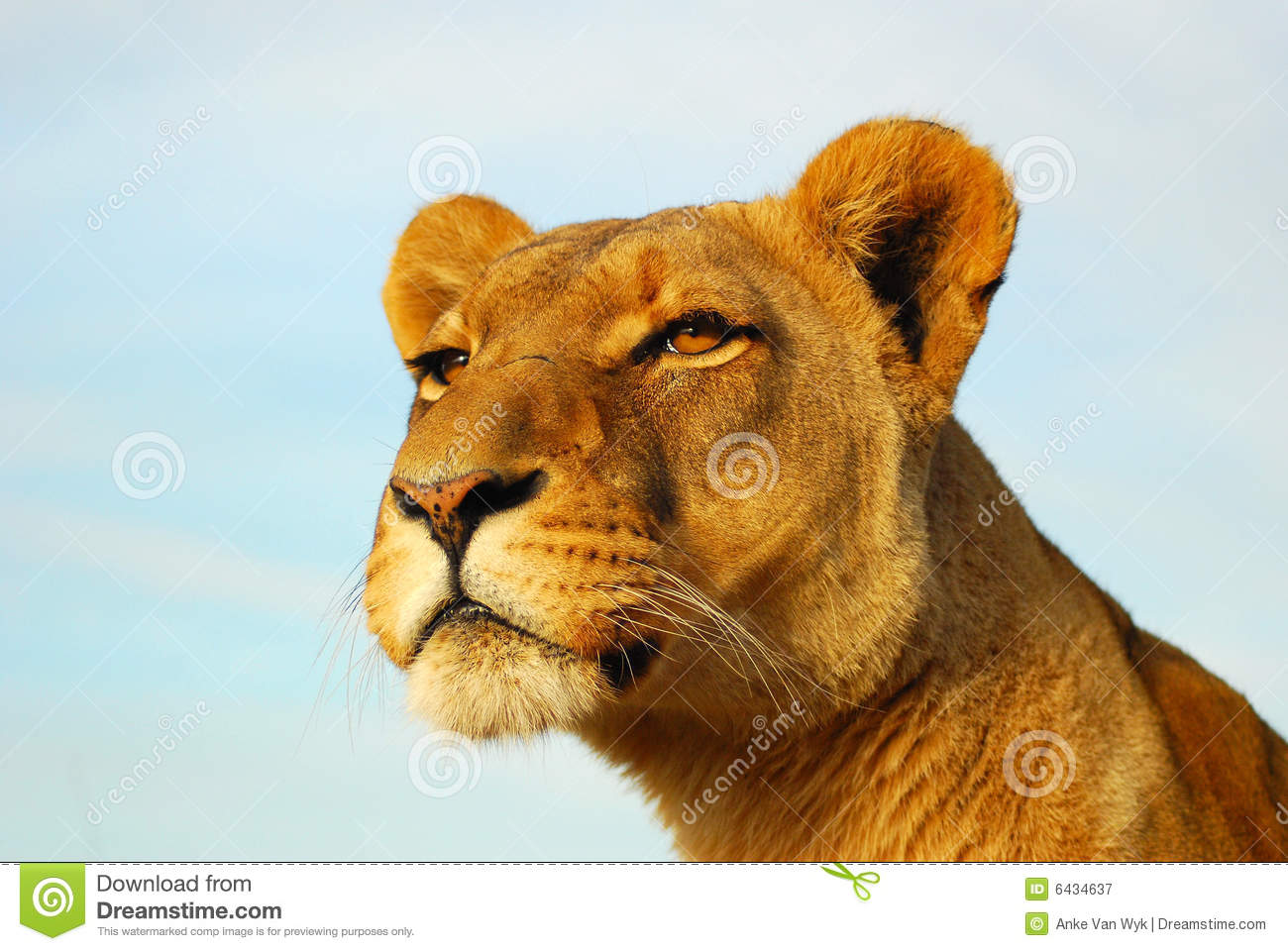 Lioness Royalty Free Stock Photography - Image: 6434637