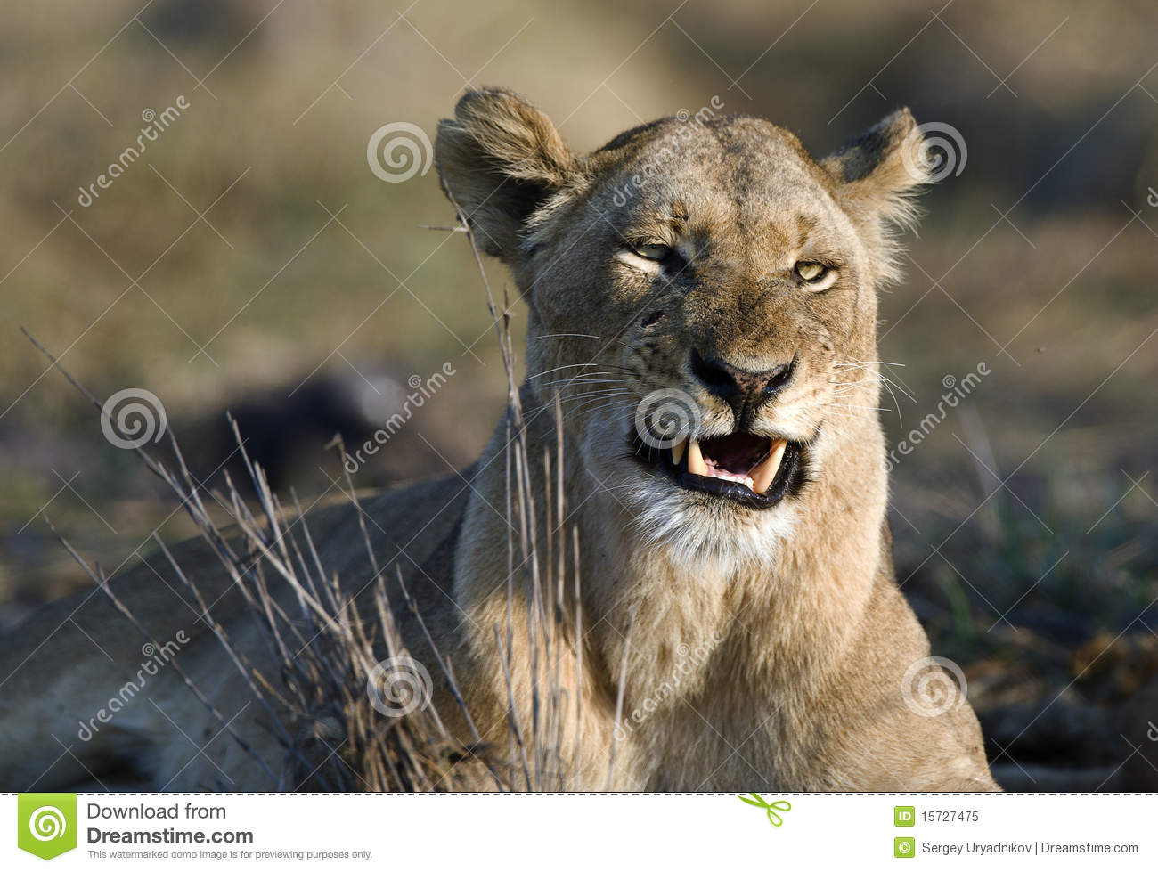 angry lioness - photo #29