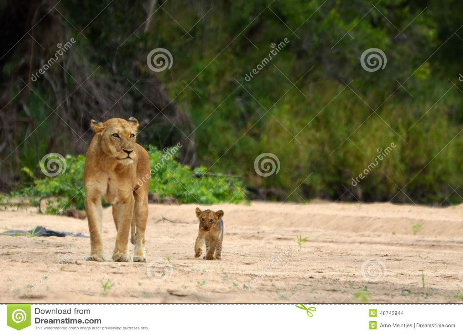 Lioness & Cub (Panthera leo)
