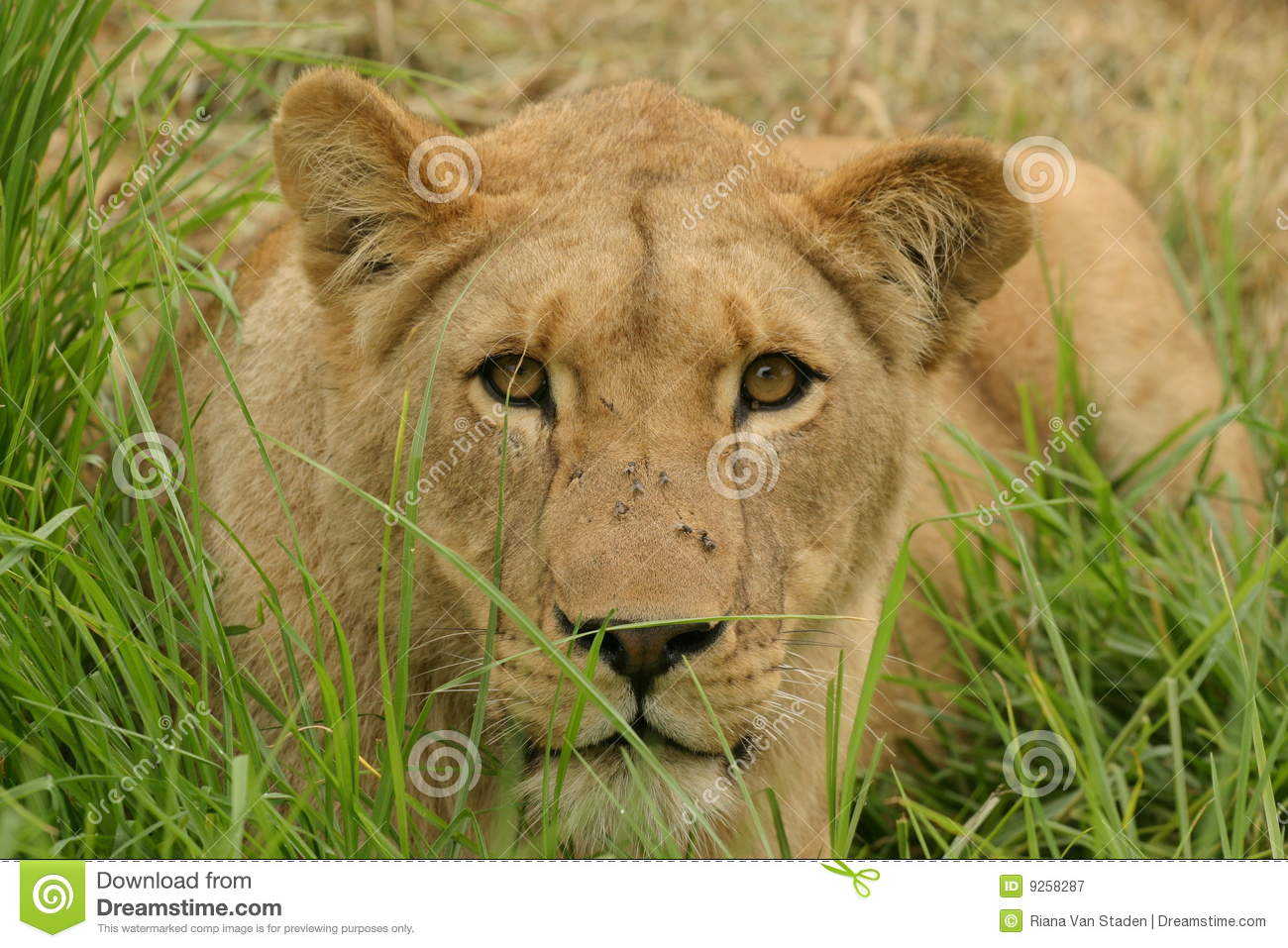 Lioness In Grass Royalty Free Stock Photography - Image ...